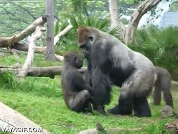 Enlace a Cría de gorila arrepintiéndose al momento de la travesura que acaba de cometer