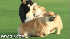 Enlace a Los Corgi, esa raza de perros simpáticos, adorables, que se matarían a la mínima ocasión si pudieran