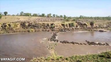 Enlace a Atención a esta migración masiva en timelapse de todos estos animales cruzando un río