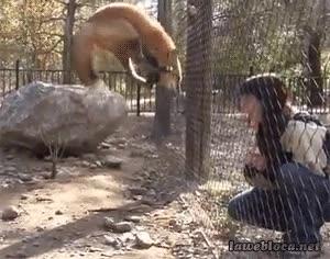 Enlace a Curiosa manera de demostrar la alegría la de este zorro
