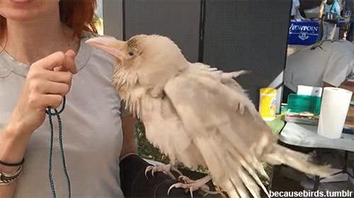 Enlace a Uno de las raras excepciones de la naturaleza, un cuervo albino