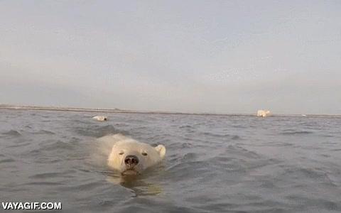Enlace a Una grabación muy inusual, un oso polar muy curioso acercándose a los fotógrafos