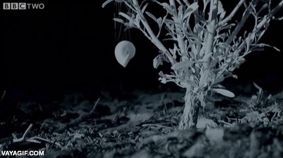 Enlace a Una araña se apropia de la concha de un caracol y se monta su propia casa del árbol