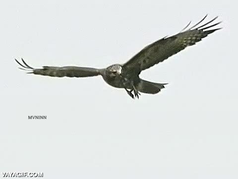 Enlace a Maniobra evasiva de aves rapaces para evitar un ataque en pleno vuelo