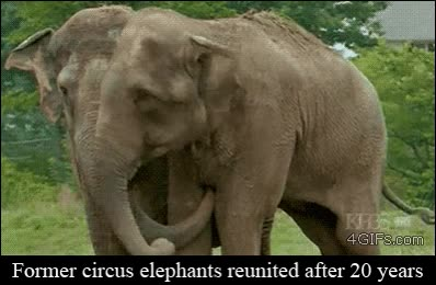 Enlace a Viejos elefantes de circo reencontrándose después de 20 años