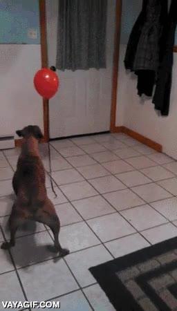 Enlace a Un perro descubriendo los globos por primera vez