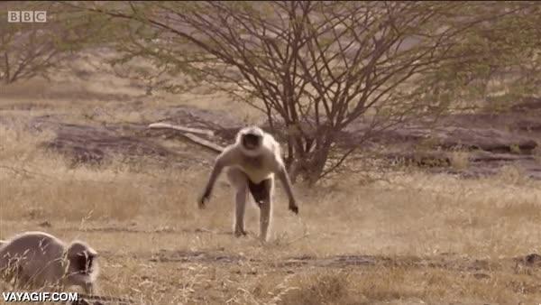 Enlace a El mono que aprendió a hacer parkour