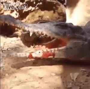 Enlace a Hay que ver lo fácil que es cazar si eres un cocodrilo, basta con dejar la boca abierta y...