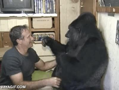 Enlace a Robin Williams haciéndole cosquillas al gorila más dócil del mundo