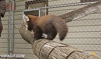 Enlace a Si hay algo más adorable que un panda rojo, yo no lo he visto