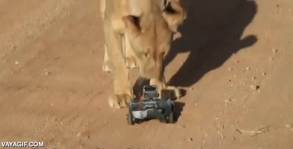 Enlace a Leona versus cámara GoPro teledirigida