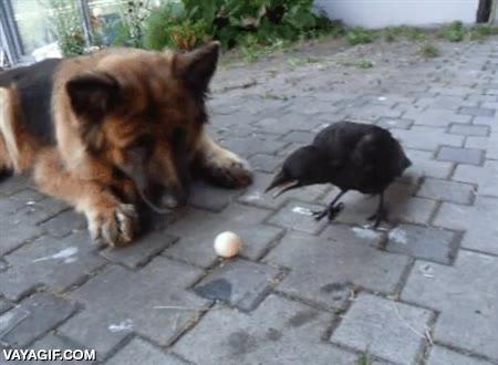 Enlace a Los compañeros de juego más impensables, un perro y un cuervo