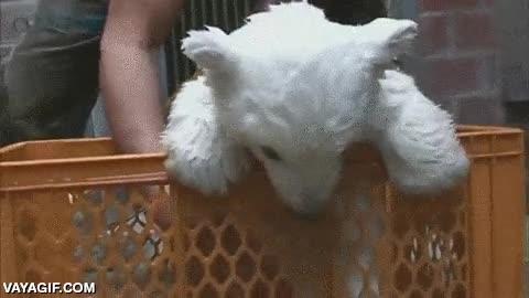 Enlace a Dando un bañito a una cría de oso polar