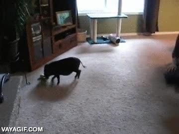 Enlace a Tener un cerdo no es muy diferente a tener un perro como mascota