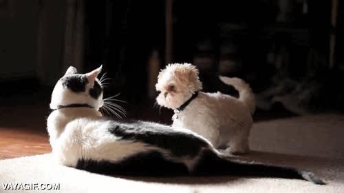 Enlace a Este gato no se toma muy en serio los intentos de golpear de este perrito
