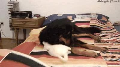 Enlace a Cuando un gato se ponga pesado, conviértelo en tu almohada