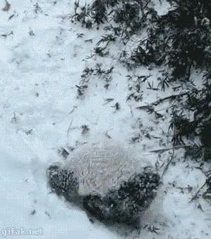 Enlace a No hay nada más divertido que hacer la croqueta por la nieve y los pandas lo saben
