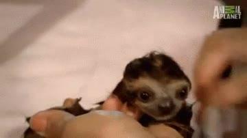 Enlace a ¿Habías visto alguna vez a un bebé de perezoso después de un baño?