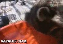Enlace a El mapache que no entendía el proceso de disolución en agua