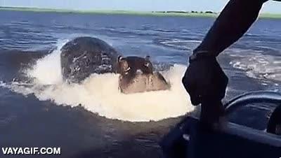 Enlace a Imagina el miedo cuando un hipopótamo cabreado persigue tu lancha con no muy buenas intenciones