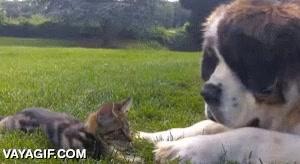 Enlace a El gatito que no se asustaba del enorme San Bernardo