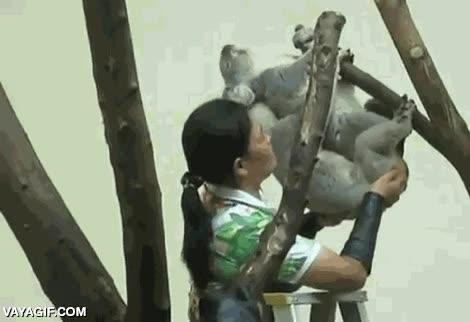 Enlace a El duro trabajo de los cuidadores del zoo. Sí, efectivamente está ayudando a estos koalas a...