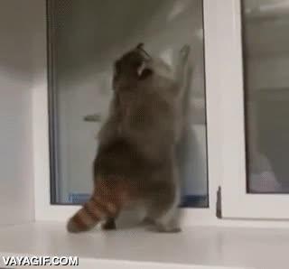 Enlace a Parece que el mapache se ha engordado un poco, pero limpia las ventanas que da gusto