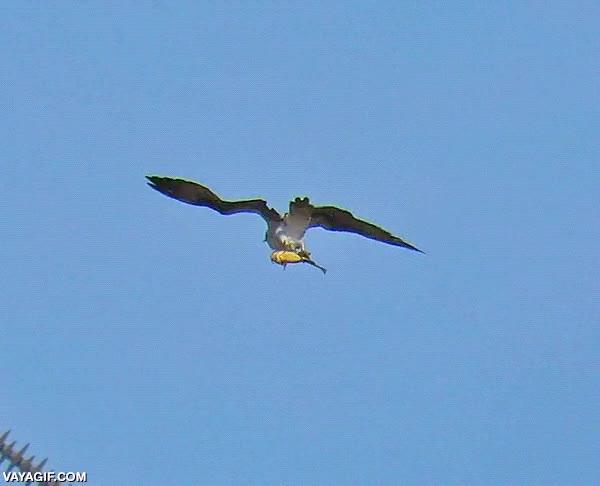Enlace a Corrientes de aire que hacen bailar a las águilas