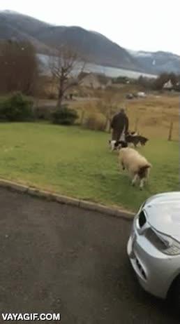 Enlace a La oveja que creía ser un perro