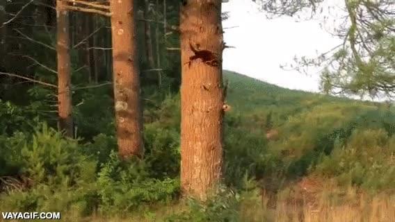 Enlace a Una comadreja persiguiendo a una ardilla alrededor de un tronco, no tiene nada que hacer