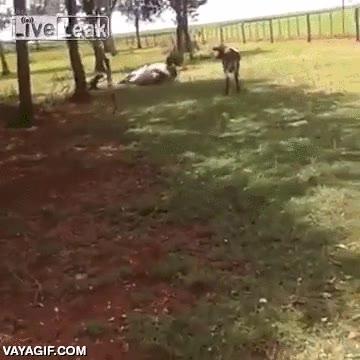 Enlace a En un duelo a cabezazos entre un carnero y una vaca, ¿por quién apostarías?
