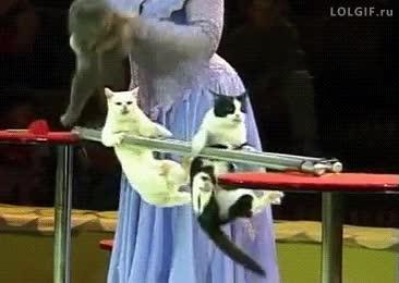 Enlace a Gatos que se creen gimnastas