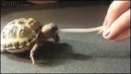 Enlace a Creo que esta tortuguita tiene más hambre de la que su propio estómago puede soportar