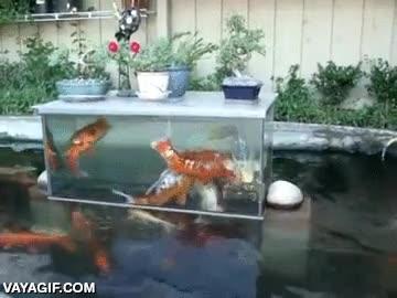 Enlace a No me preguntes cómo lo han hecho, pero este estanque de carpas es mágico