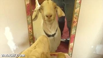Enlace a Esta cabra se ve a sí misma en un espejo por primera vez y lo flipa muy fuerte