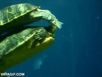 Enlace a Las tortugas de agua tienen una curiosa forma de cortejar a las hembras