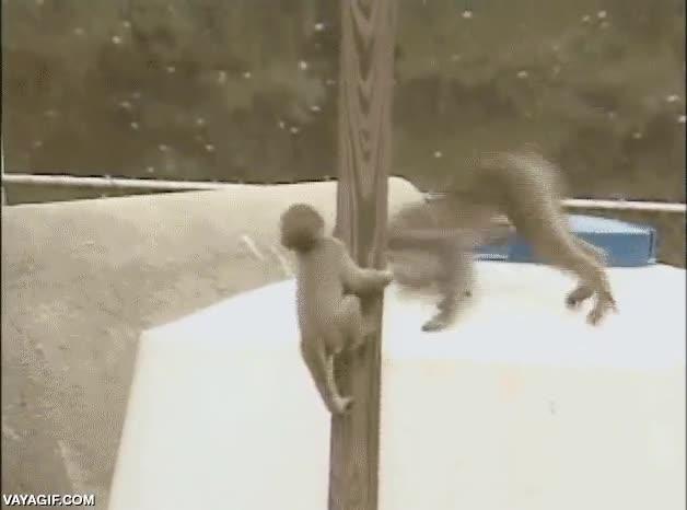 Enlace a Todos los monos son seres ágiles, habilidosos y... bueno, la mayoría...