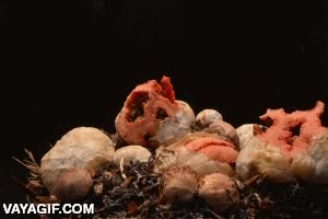 Enlace a Cuesta creerlo, pero esto es un hongo ''floreciendo''