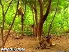 Enlace a Un mono jugando y trolleando a un cachorro de tigre