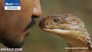 Enlace a El beso de la cobra, hay que tenerlos muy bien puestos