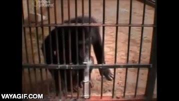 Enlace a Unos científicos le ponen un cacahuete en un tubo de vidrio a este chimpancé, ¿conseguirá cogerlo?