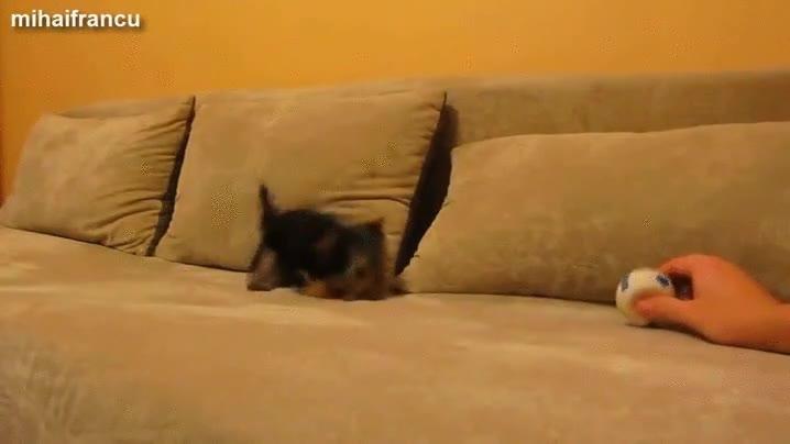 Enlace a El perrito que se volvía loco con el sonido de una pelota de juguete