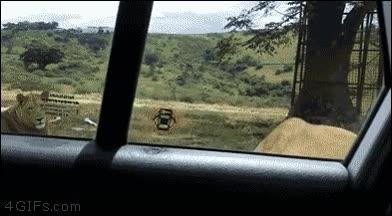 Enlace a La importancia de bloquear las puertas del coche cuando vas de safari