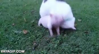 Enlace a Los cerdos son animales amistosos y nada rencorosos