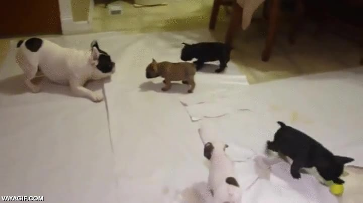 Enlace a Papá bulldog francés intentando jugar con sus crías que no parecen saber muy bien qué deben hacer