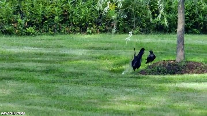 Enlace a Cuervos jugando a columpiarse, si es que son listos como pocos...
