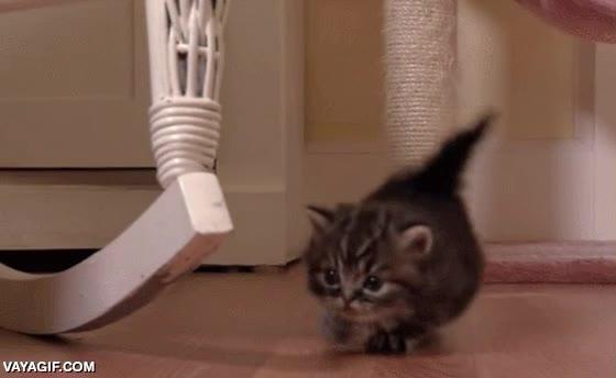 Enlace a Si una cría de gato ya es adorable de por sí, mira uno en versión paticorto