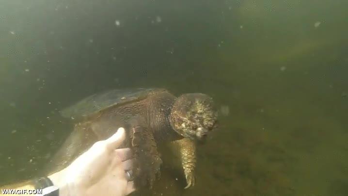 Enlace a Hay que ser muy valiente para coger de la pata a una tortuga de estas