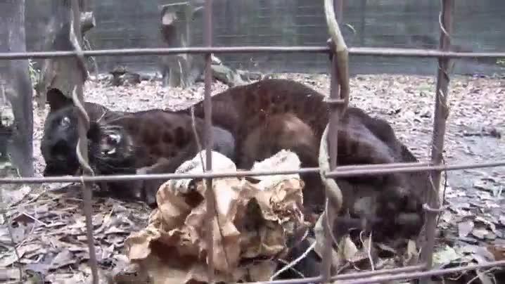 Enlace a Entrañable jaguar oscuro jugando con una bolsa como si fuera un gatito