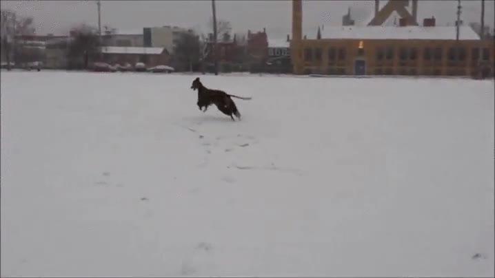 Enlace a El galgo que vio por primera vez la nieve y se volvió loco de alegría
